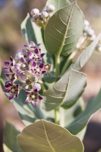 Native Flora, NT